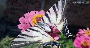 Осми лунен ден - пеперуда